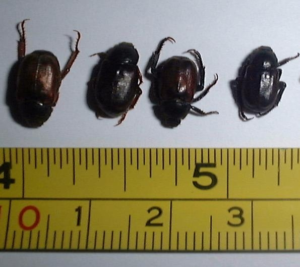 Adult Chafer Beetles